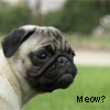 yousuck: http://www.sxc.hu/photo/927946 (Confused, Meow?, Pug, Puppy)