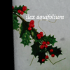 strangefrontier: Branch of holly with its binomial name, Ilex aquifolium (holly : ilex aquifolium)
