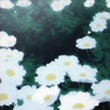 glorious: A field of white flowers in bloom (❀ selenias)