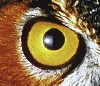 greymalkin: Close up of an owl's eye (Default)