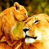 avy: A lioness and her cub, looking cute. (my mothers are lions) (Default)