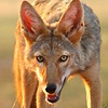 howling_laugh: (Coyote smile)
