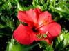 ksmith: (hibiscus)
