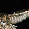 howling_laugh: (owl eyes)