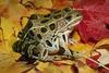 ksmith: (leopard frog)