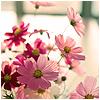 jazzyglo: Pink flowers (Default)