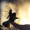 piwakawaka: (being a bird in hand)