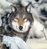 garvey: (Wolf)