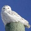 garvey: (Snowy owl)