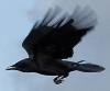 garvey: (Crow)