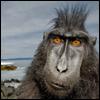 maymak: (macaque)