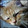 twistedchick: my darling boy, Simba the Magnificent, cat of great wisdom, asleep (sleepy simbaface)