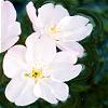 salvia: (cherry blossom)