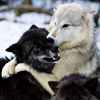sonicanomaly: (Wolves: Hug Time!)