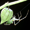 songbird: a delicate-looking green spider stepping off a similarly-colored fruit (delicate tasks)