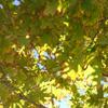 orange_symphony: (Oak Leaves)