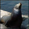 karnerblue: Monterey sea lion (Default)