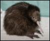 pallidbat: A kiwi bird (Kiwi!)