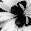 darkfyre_muse: (black butterfly)