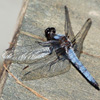 lampetia: (Dragonfly)