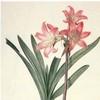 amaryllis: (Default)
