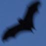 narrativian: fruitbat flying silhouetted against dusk sky (Bat-signal)