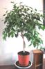 pseudomonas: (plant)