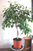 pseudomonas: (pseudojonathan, plant)