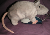 pseudomonas: A rat encountering a mouse (mouse, rat)