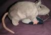 pseudomonas: A rat encountering a mouse (mouse)
