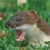 stoatallymad: (Halt! Cease! Desist! I have teeth!)