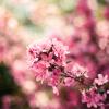 liberta: (lilacs)