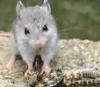 aaaaaaaagh_sky: (grasshopper mouse, Saoshyant)