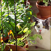 fallingbooks: grey and white cat sitting suspiciously close to the nasturtium (cats)