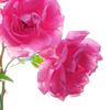 lightsinthesky: (roses)