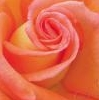 evaelisabeth: (Rose)