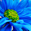 daiseechain: Blue Daisy (DaiseeChain/Blue Daisy)