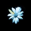 dotfic: (Fringe: flower)
