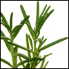 cyprinella: Rosemary sprigs on a white background (rosemary)