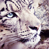 amarantine: Beauty (snow leopard)