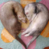gushi: (Ferret Love)