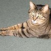 stranger: Osric, a fat, dark tabby cat (osric)