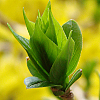 azete: A green bud extends from the tip of a branch that recedes into a background filled with delicate yellow petals (Default)