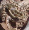 mrcreek: Rana palustris, the pickerel frog (Default)