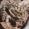 mrcreek: Rana palustris, the pickerel frog (Default)