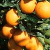 copernica3: (oranges/?)