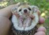 mistressace: (Hedgehog)