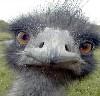gerbie: (emu)