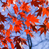pocketsfullof: (maple leaves)