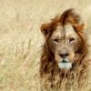 xela_fic: (Lion is Fierce)